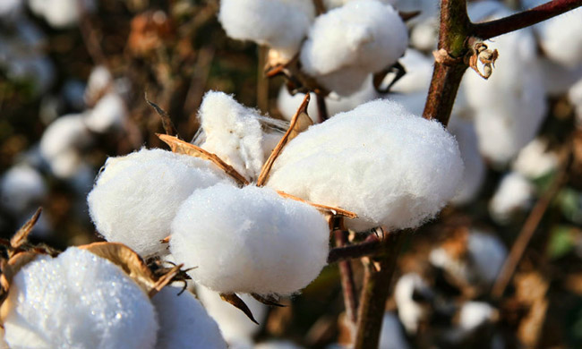 Cotton is considered the dirtiest crop in the world because of heavy use of pesticides