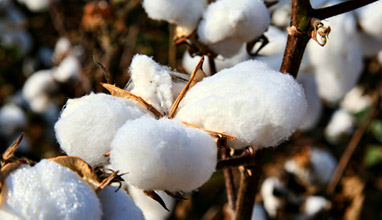 Cotton is considered the dirtiest crop in the world because of the heavy use of pesticides