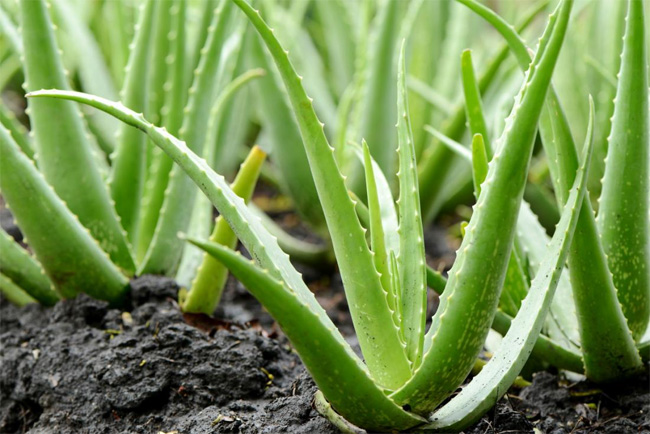 Discover Aloe Vera - the perfect natural cosmetic