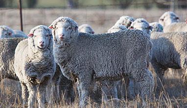 Marzotto Wool Manufacturing acquisisce il 25% in G.Scheneider Australia e Schneider Nuova Zelanda