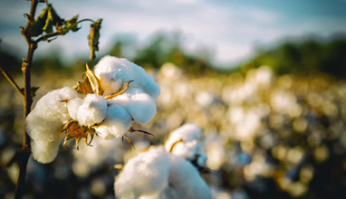 Organic textile sector has a significant progress in testing for genetically modified (GMO) cotton